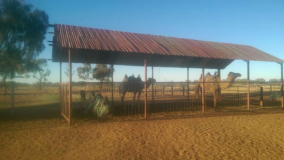 Camel farm near Alice Springs