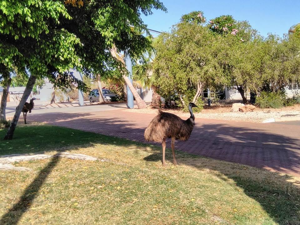 Emu Exmouth Western Australia