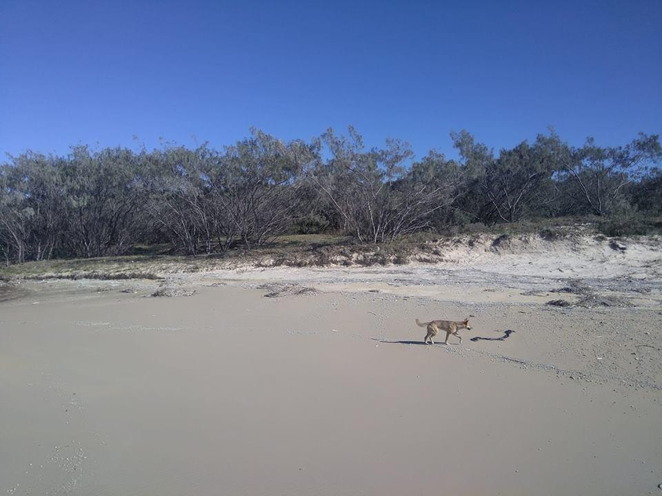 dingo Fraser Island Australia