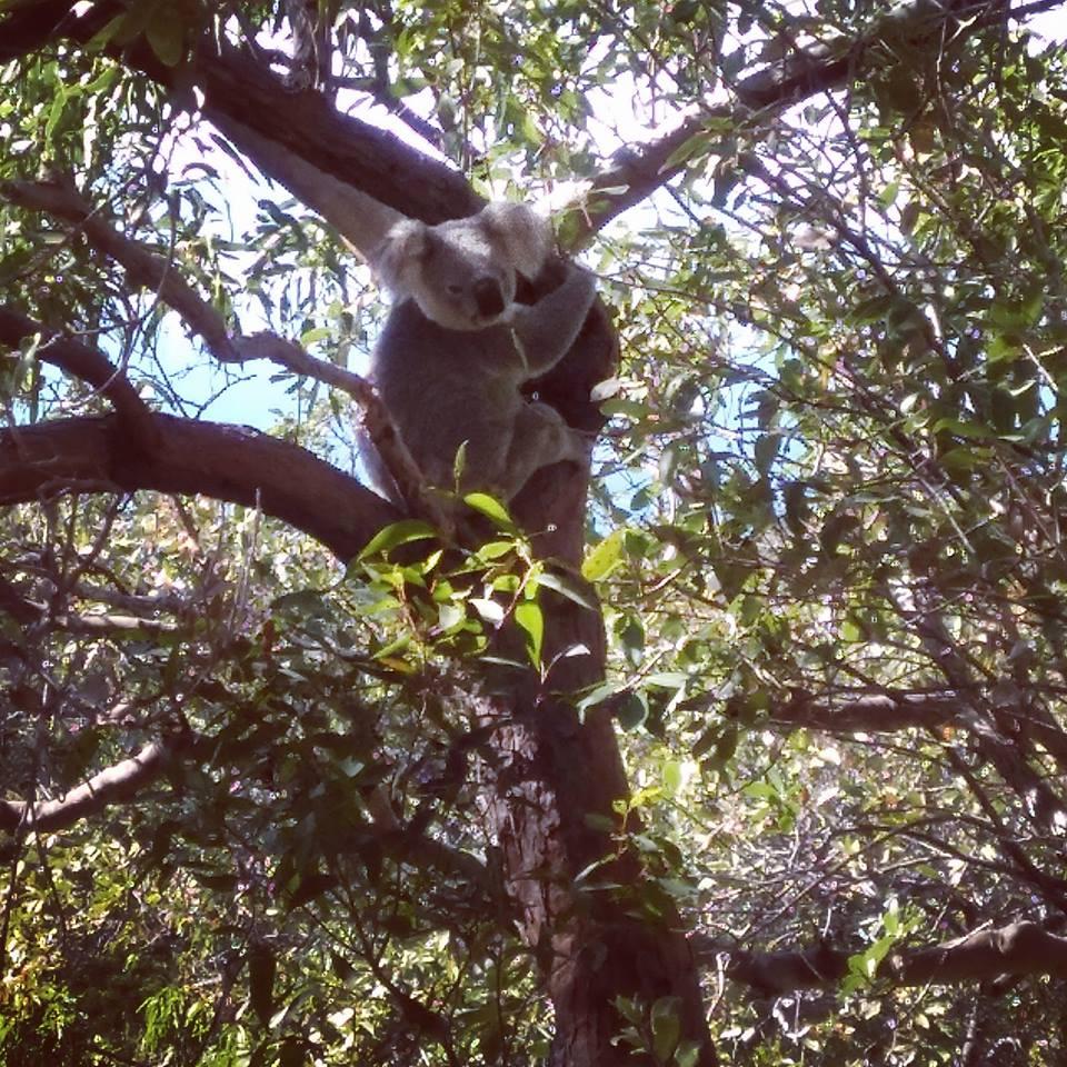 koala Townsville Magnetic Island Queensland Australia