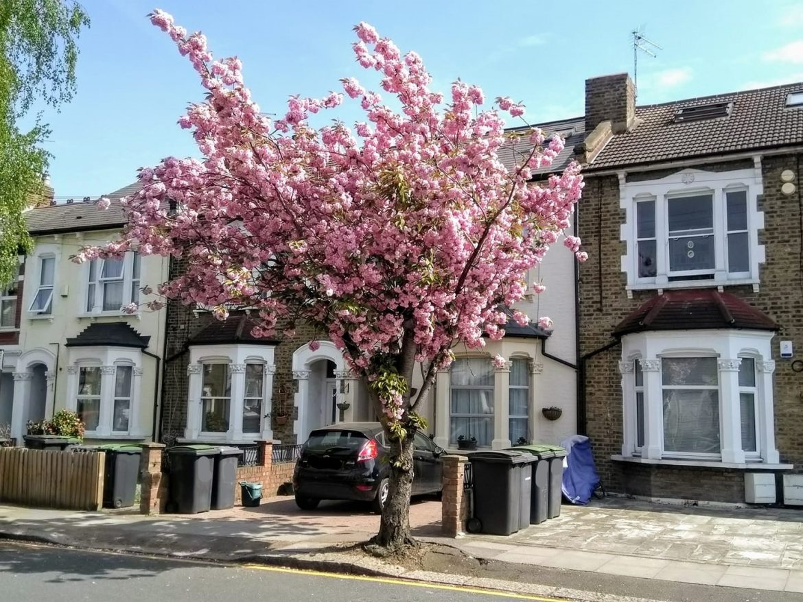 Pink tree blossom in front of some houses on a suburban street